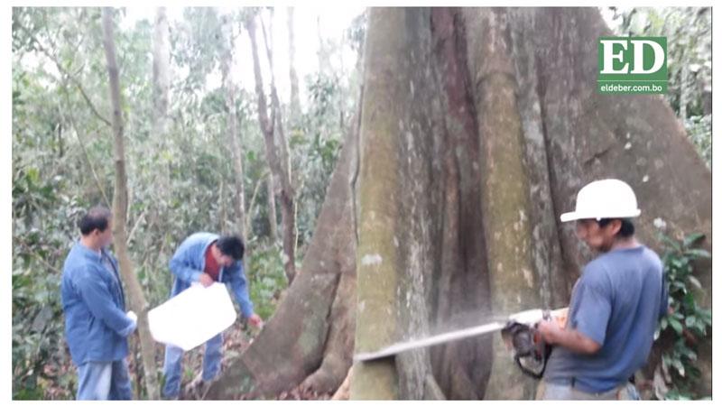 Zafra maderera, un árbol que oxigena a 38.000 familias La crisis del sector forestal redujo la mano de obra directa en un 15%. Santa Cruz produce el 52% de la madera del país. La ABT se alista para el control