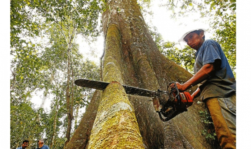 LENTITUD. La superficie bajo aprovechamiento forestal crece lentamente en el país debido a factores económicos. Foto: La Estrella del Oriente