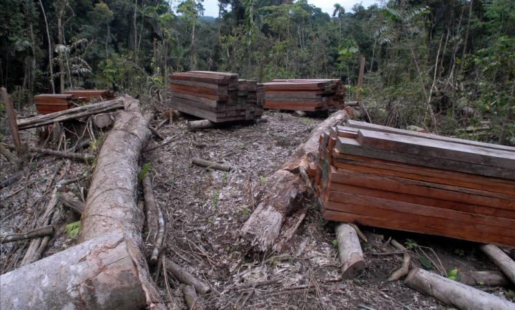 Veda de 10 años para el árbol de caoba, anuncia el Gobierno