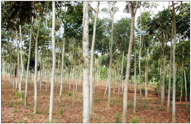 Plantaciones Forestales de Bolivia