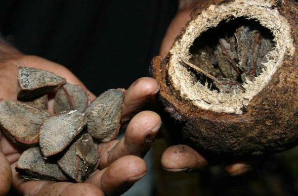Castaña genera 75% de la economía en la Amazonia. La región productora representa el 10 por ciento de la superficie del territorio boliviano • Los mercados de exportación se encuentran en América, Europa y Asia • Beneficiadoras comenzaron a desvincular trabajadores desde junio pasado