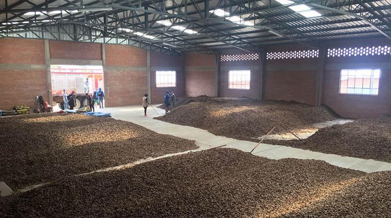 Sólo cuatro de 23 empresas industrializan la castaña en Bolivia